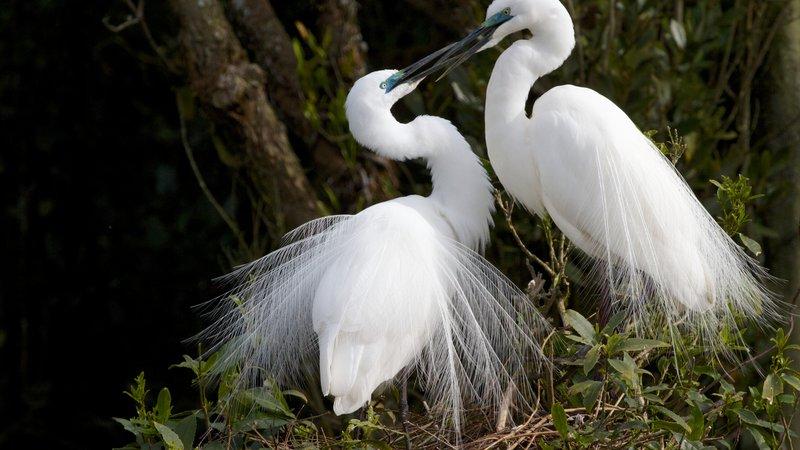 Courting White Herons, Whataroa NZ.jpg