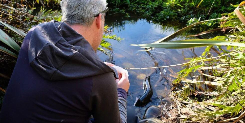 Wild eels in Hokitika