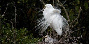 White Heron with chick
