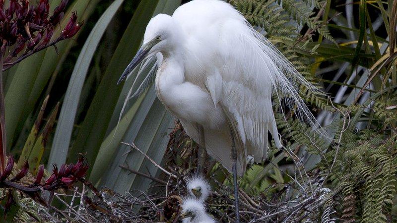 White Heron nest, Whataroa.jpg