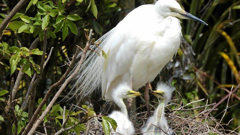 White Heron nest with chicks, Whataroa.JPG