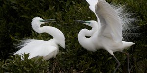 White Herons courting, Whataroa.jpg