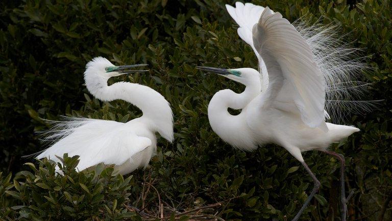 White Herons courting, Whataroa.jpg