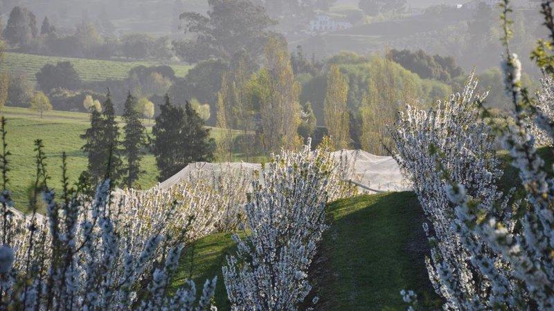 cherry orchard food nelson.jpg