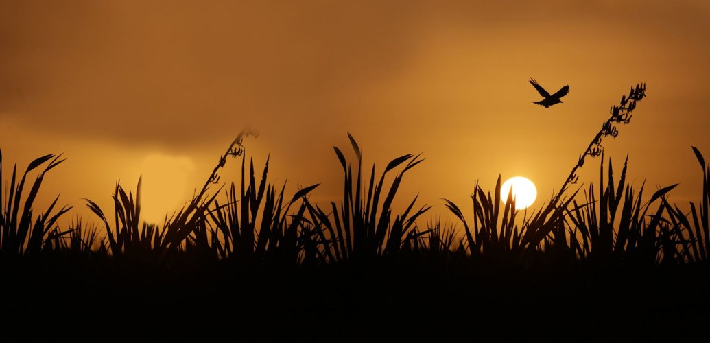 Totara Sunset flax.jpg